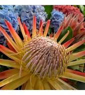 Kuningprotea Madiba