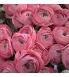 ranunculus roosa.jpg