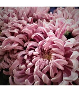 Vienna Pink 1.jpg