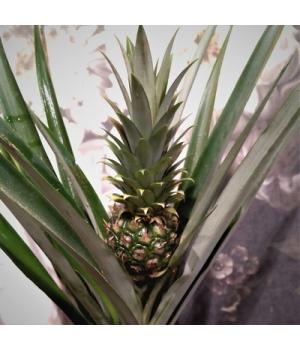 Ananass1.jpg