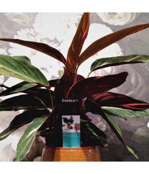 Stromanthe1.jpg