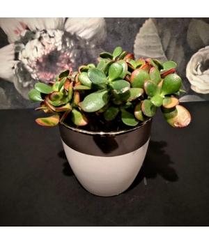 Succulent Crassula keraamilises potis.jpg