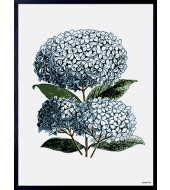 Poster Blue Hydrangea
