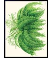 Poster Nephrolepis