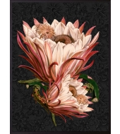 Poster Pink Protea