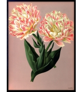Poster Parrot Tulips