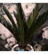 Rahupalm / Cycas Revoluta