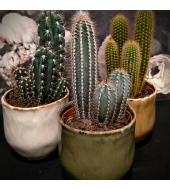 Kaktus keraamilises potis