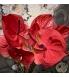 Anthurium coral.jpg