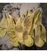 Anthurium marysia jpg.jpg