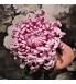 vienna pink 3.jpg