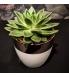 Succulent Echeveria keraamilises potis.jpg