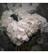 valge hortensia.jpg